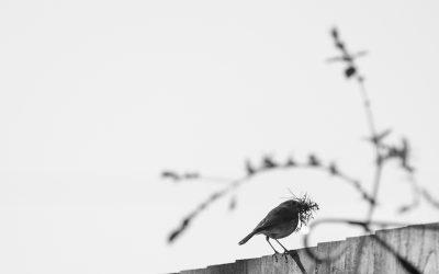 Robin preparing for Spring