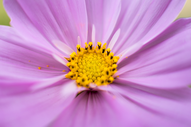 Canon Macro Extension Tube Flower Photography – Cosmos Flower