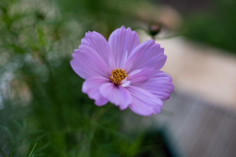 Macro flower photography – Sweet Peas & Cosmos