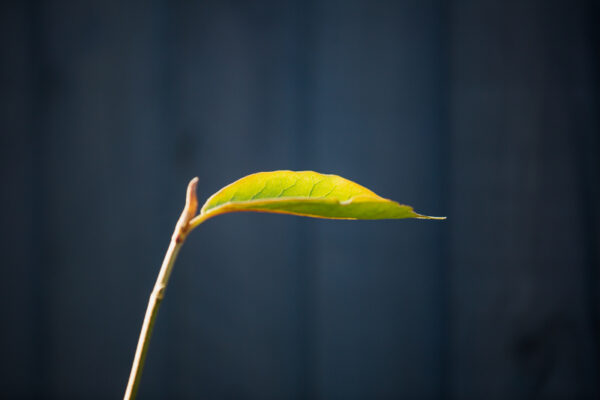 The lone leaves